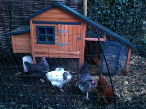 Our feathered ladies and their hen chalet!