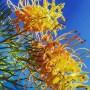 グレヴィレア ピーチズアンドクリーム 真冬に咲く花の魅力