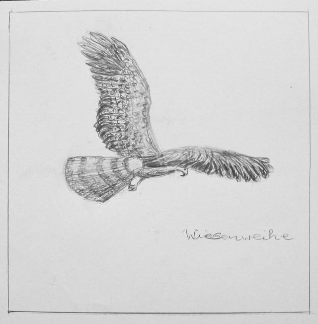2009 - Wiesenweihe, 50x40cm, Bleistift