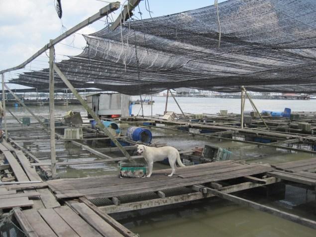 A fish farm off the Kukup shoreline