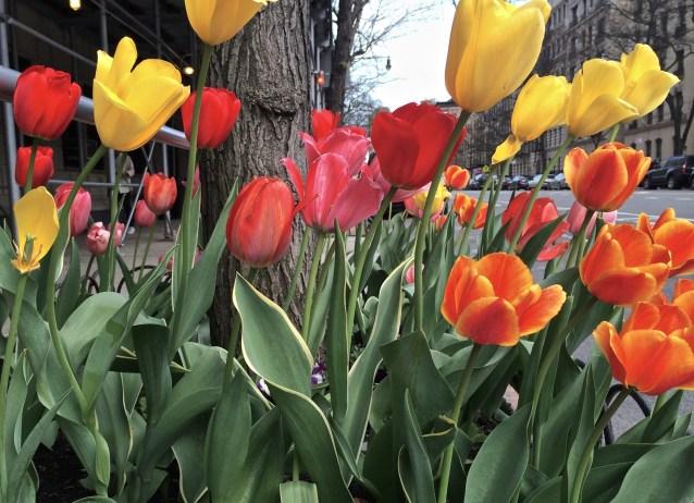 Day 116:3 Tulips on my block