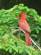 redcardinal
