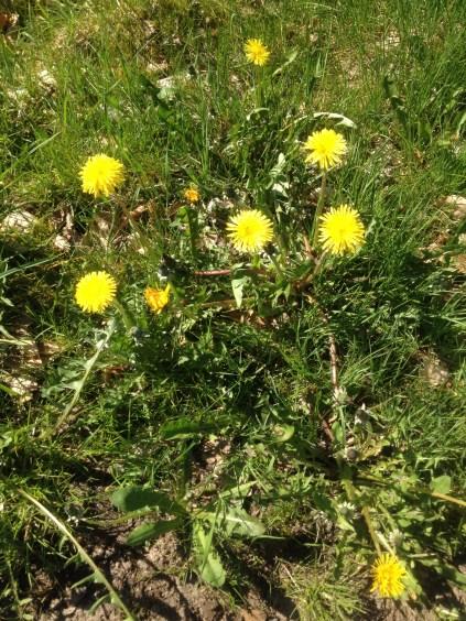 Dandelions on the way