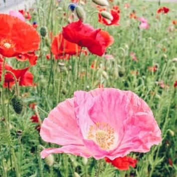 Poppies in Bothel, near the school