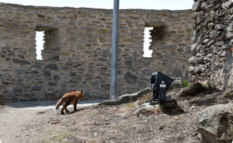 Fox casually enjoying a walk through Deva Fortress