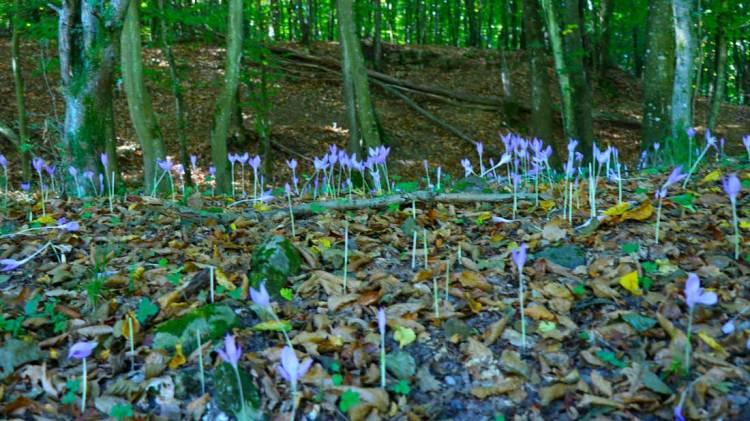 Brândușe de toamnă prin pădurile Hunedoarei