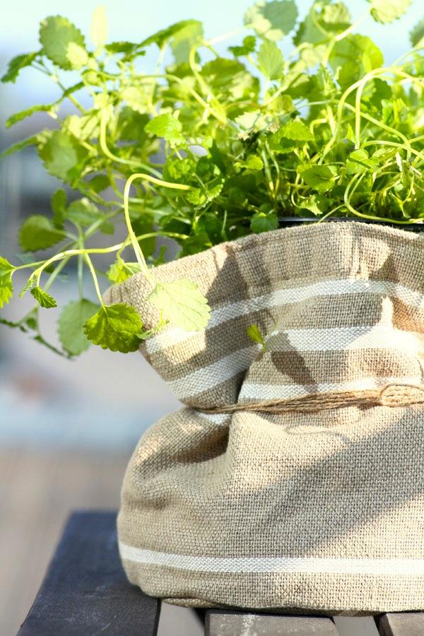 Ingeniørfruens-sitronmelisse-i-urtepotte-fra-MesterGrønn