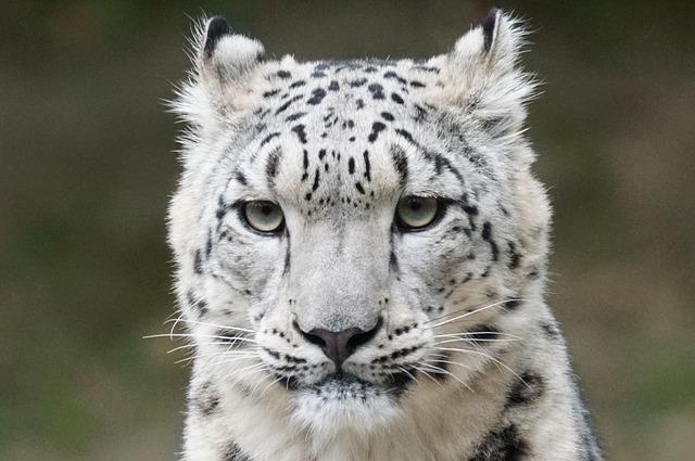 REISETIPS New York med barn - snøleopard