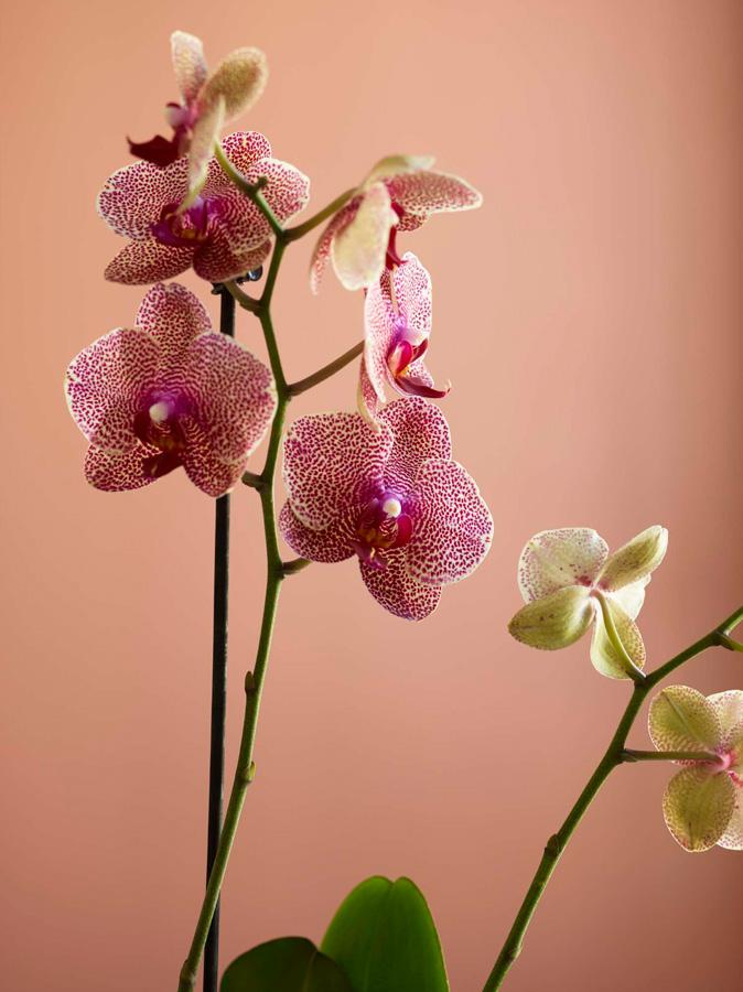 INTERIØRTIPS Orkideer i alle rom