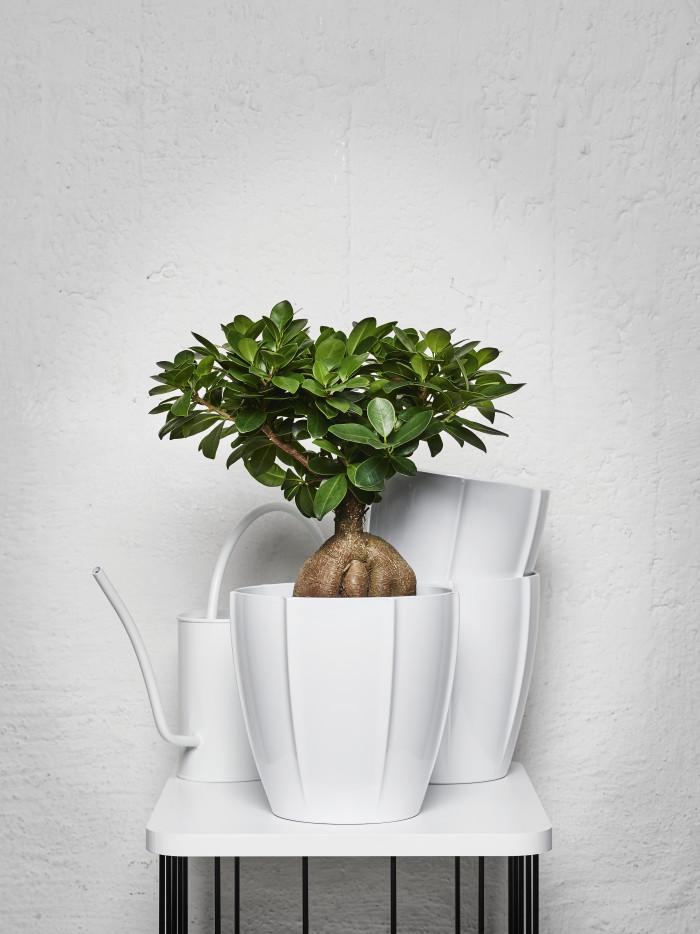 INTERIØRINSPIRASJON Grønne planter for god helse - gineseng