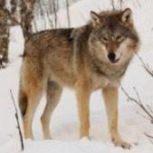 Eurasian_wolf