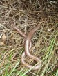 Slow worm at Moorside
