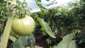 Cultivo de café en asocio con Tomate.