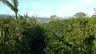 Irrigated coffee - Finca La Hilda - Costa Rica