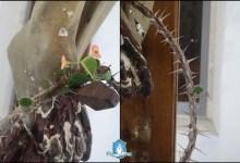Photo of أعجوبة في إيطاليا – ظهور أوراق خضراء وزهور على  إكليل الشوك الجاف الموضوع عند قدمَيّ المصلوب