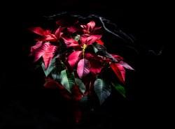 La stella di Natale