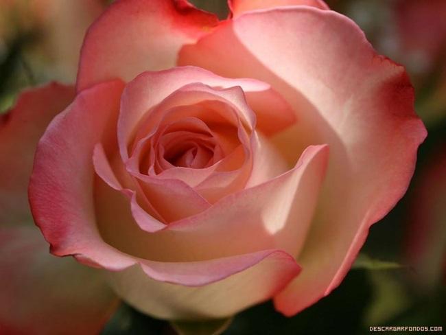 rosa-17