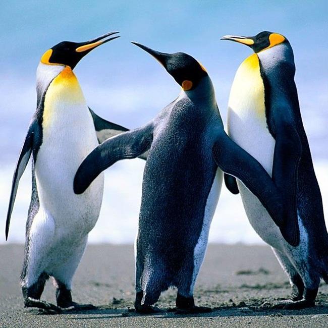 Pingui-1