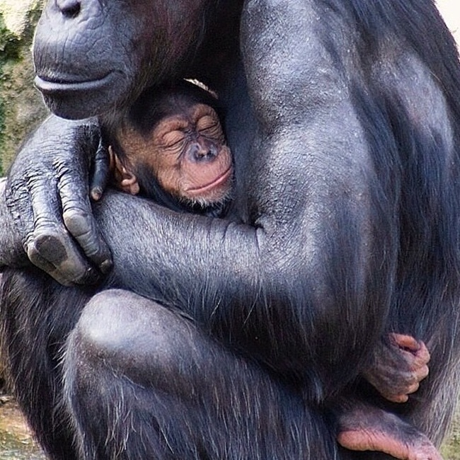 familia simio