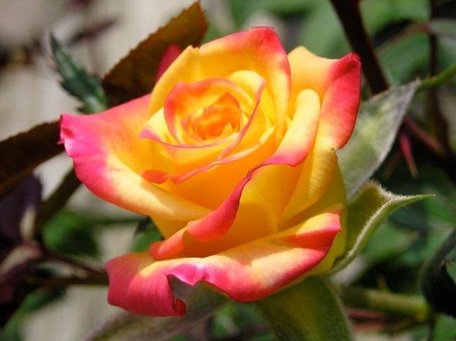 rosa-amarillo-roja