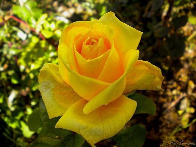 rosa-amarilla-1