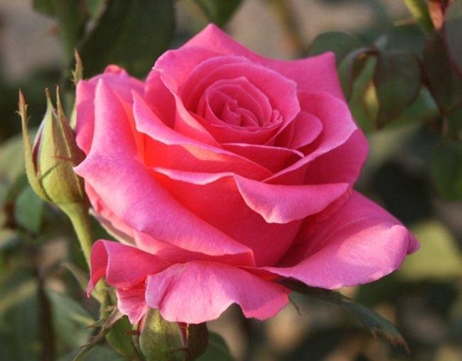 rosa-del-amor
