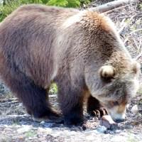Kodiak Björn ... Kodiak Bear ...