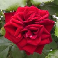 Rosor ... Roses ...