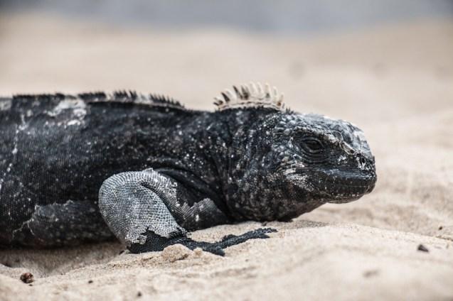galapagos_isabela_marine_iguana-1