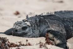 galapagos_isabela_marine_iguana-2