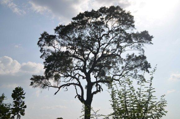 Jour4-arbre-safari
