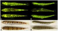 Diversidad de patrones fluorescentes y colores en los peces marinos