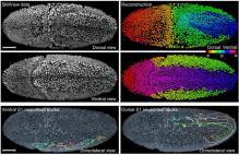 Embrión de Drosophila