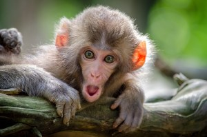 small monkey peers int ot he camera with mouth open wide in amazement as Marie Deveaux small business coach gives you tips for managing your money with your partner
