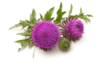 Phytotherapie-Herboristerie-Sante-Naturelle-Chardon-Marie