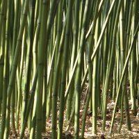 L'histoire du Bambou Chinois...
