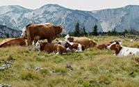 Seguro pecuário (Destina-se a proprietários de explorações pecuárias de bovinos, ovinos, caprinos, suínos e equídeos e garante uma indemnização em caso de morte dos animais seguros)