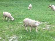 Sheeps around the church