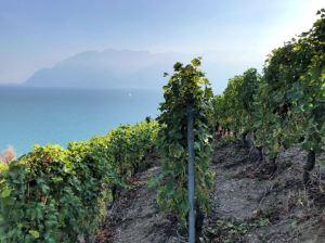 Vineyards overlooking lake Léman
