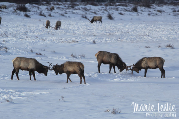 Rutting Practice Rocky Mountain National Park