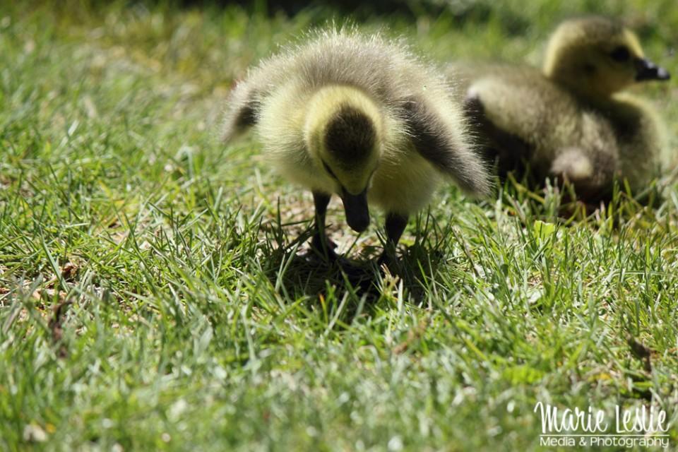 gosling, baby bird, duckling