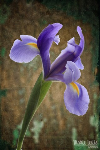 artistic purple iris