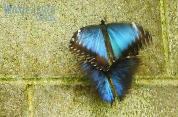 blue butterflies mating, colorado photographer