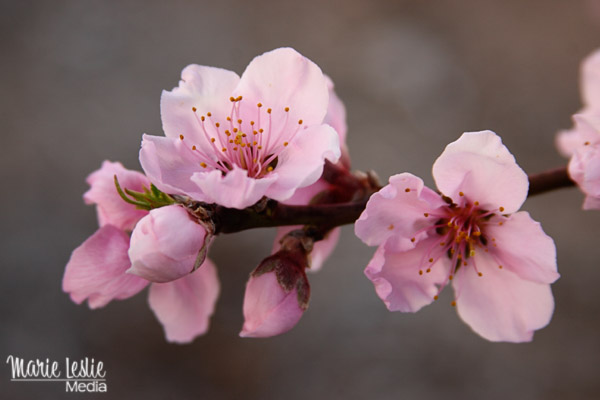 pink nectarine blossoms, spring flowers