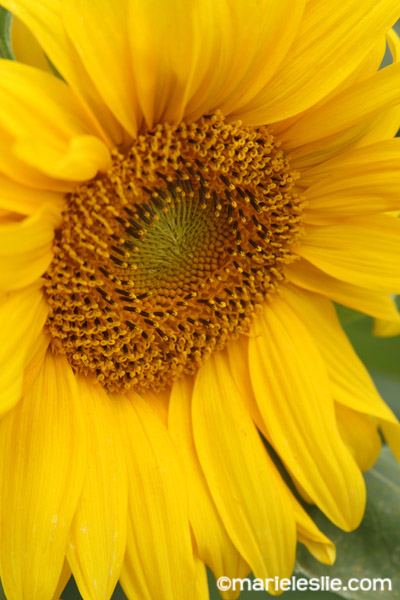 close up sunflower from how to photograph flowers tutorial