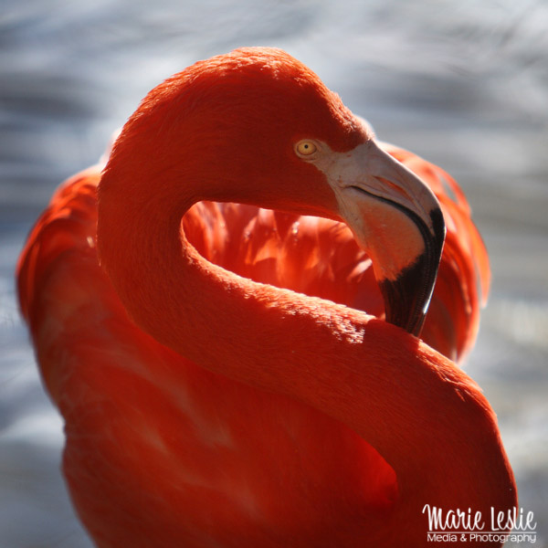 s-curve flamingo