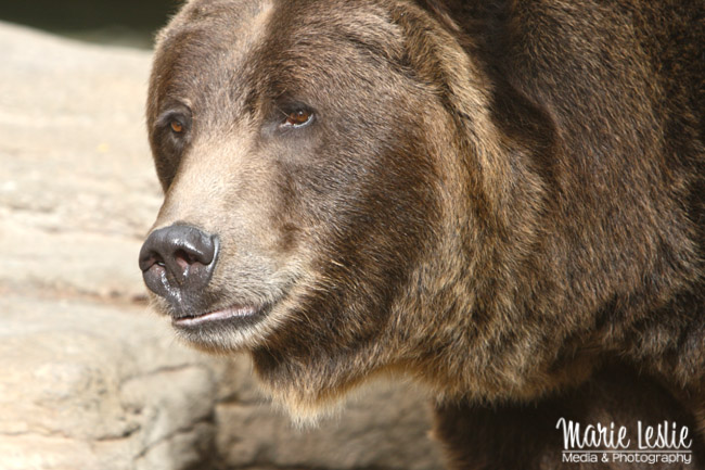 photographing bears at the zoo