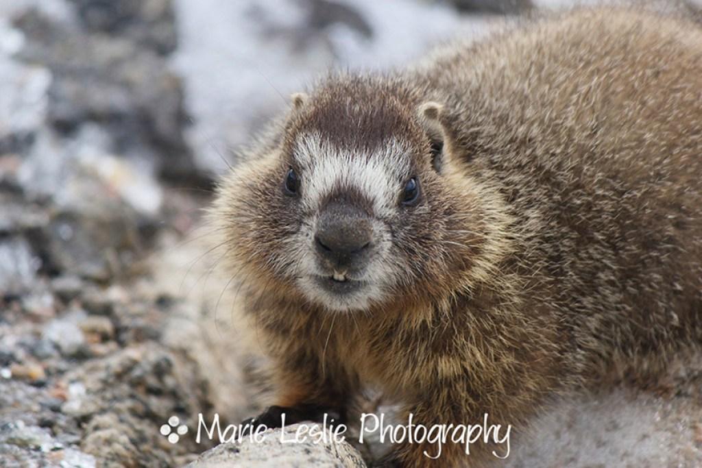 Mr Marmot