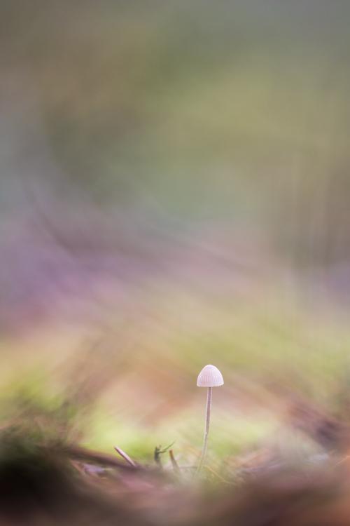 fragile-bos-paddenstoel