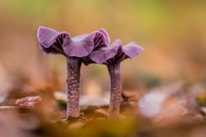 rodekoolzwam-amethistzwam-paddenstoelen-bos-paars